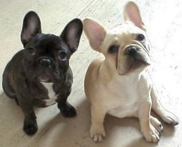 Rescue a French Bulldog